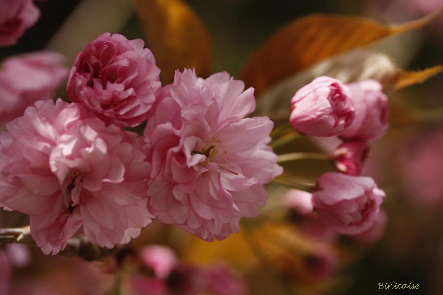 cerisiers20003.jpg