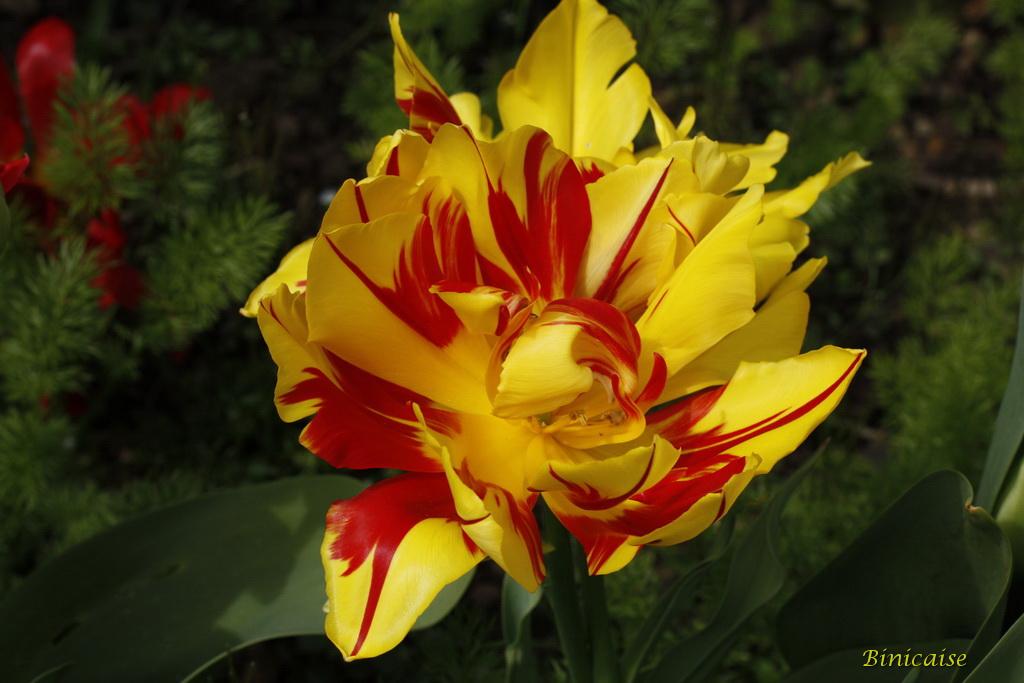 tulipes0003.jpg