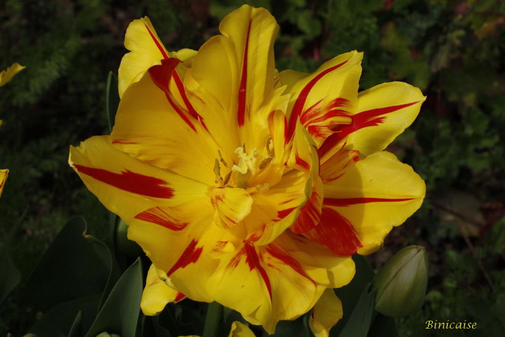 tulipes0004.jpg