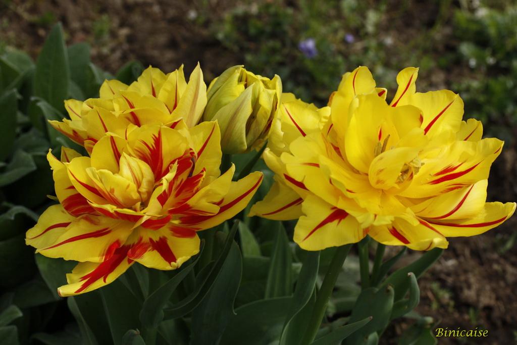 tulipes0005.jpg