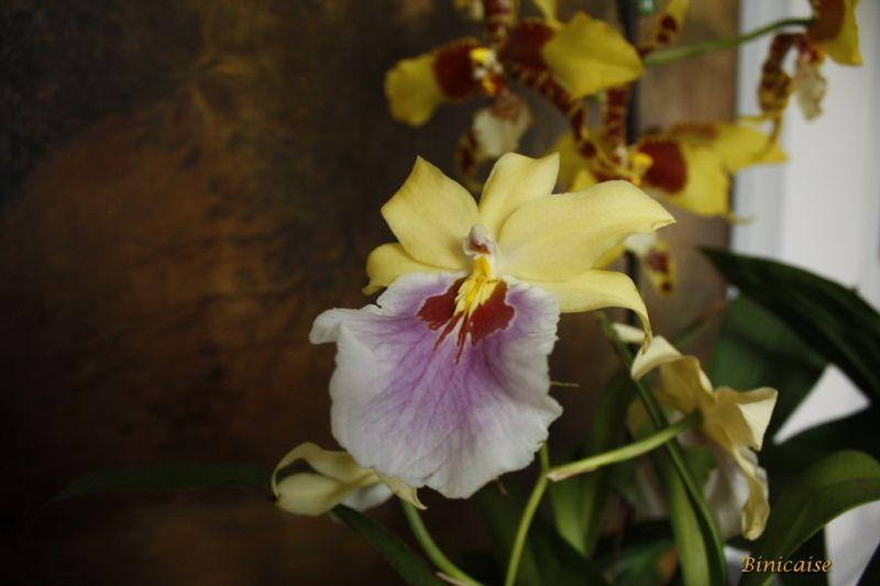 orchidesdevalenay0007redimensionner.jpg