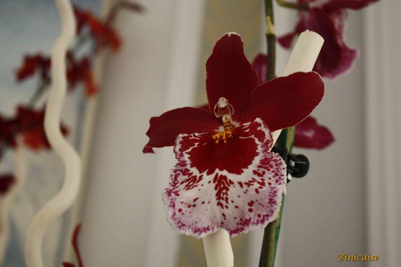 orchidesdevalenay0014redimensionner.jpg
