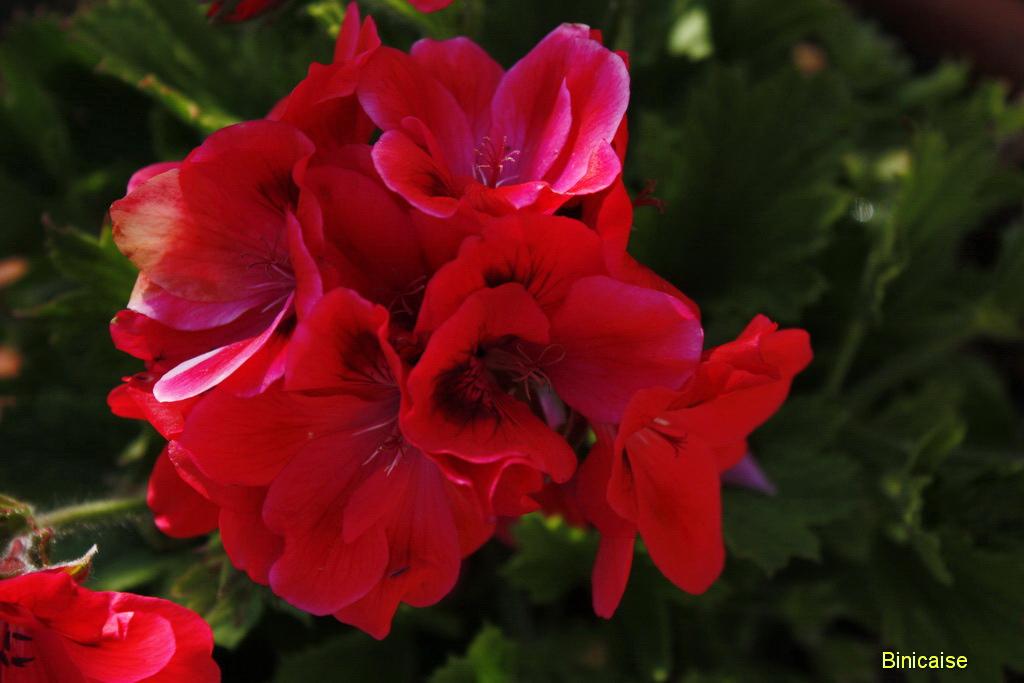 pelargoniumpote0001.jpg
