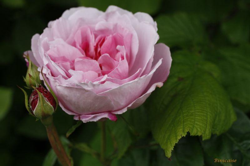 rosesenmai0002.jpg