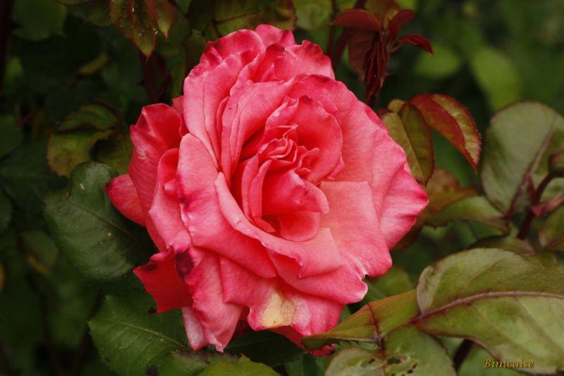 rosesenmai0003.jpg