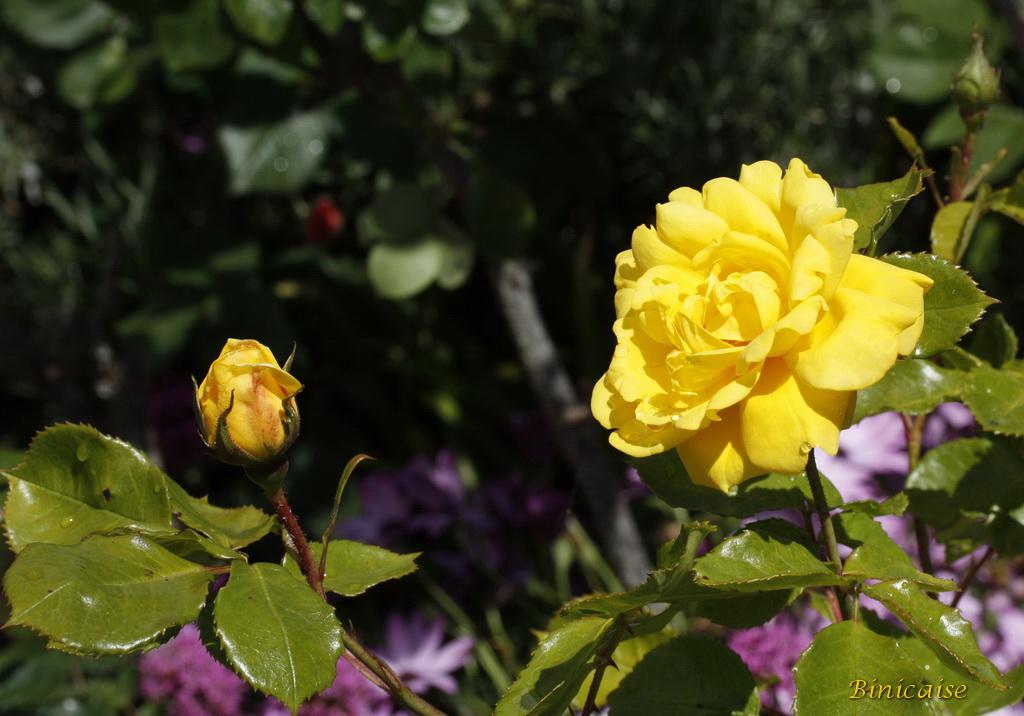 rosesjaunes0001.jpg