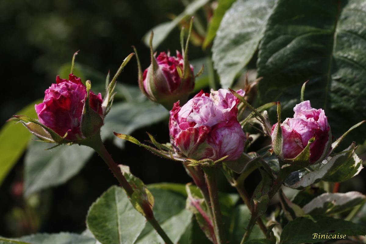 roseancienne0002.jpg