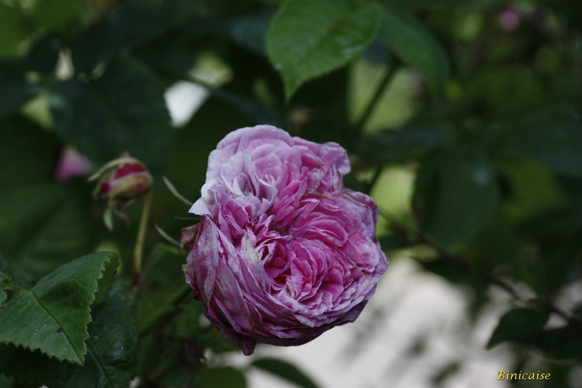 roseancienne0003.jpg