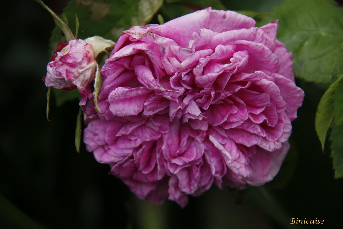 roseancienne0004.jpg