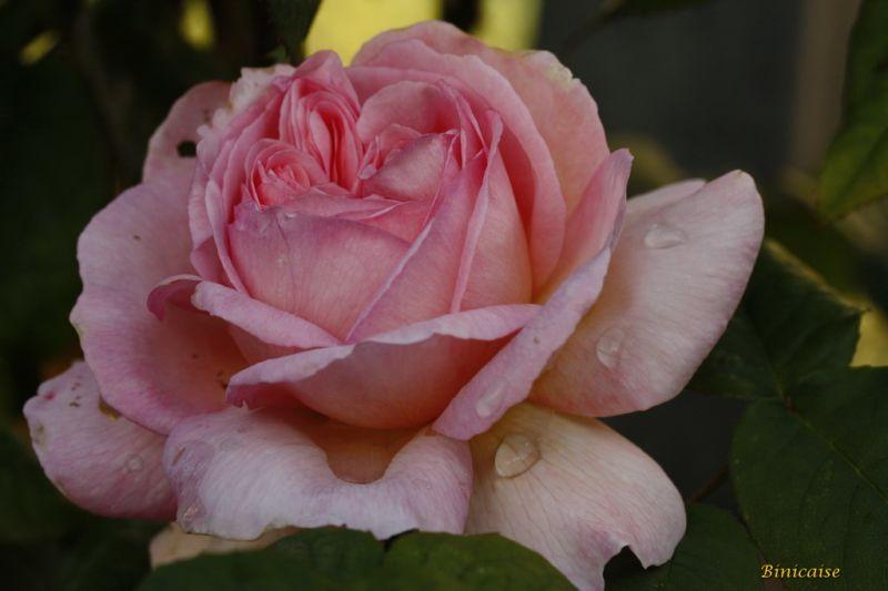 rosesanglaises0001.jpg