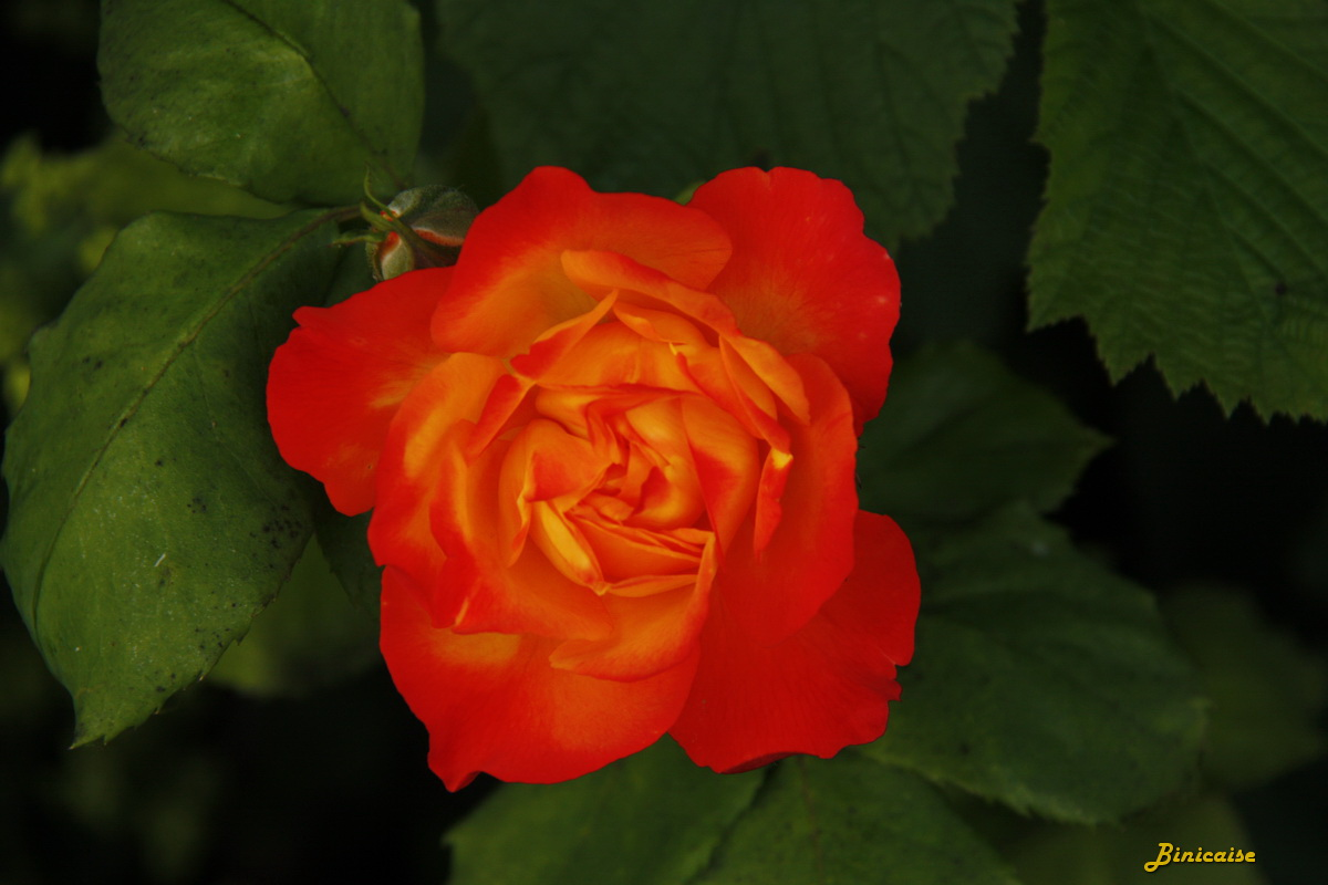 rosierflamme0001.jpg