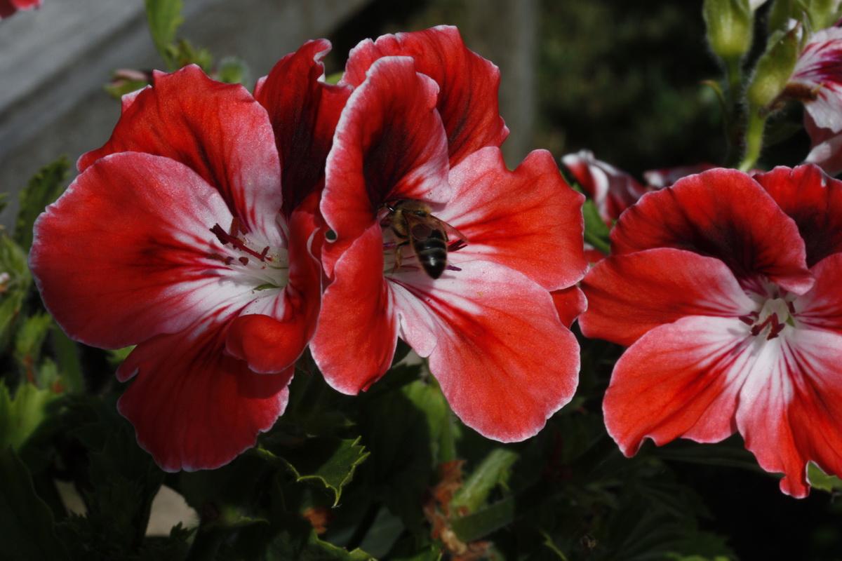 fleursdeplargonium.jpg