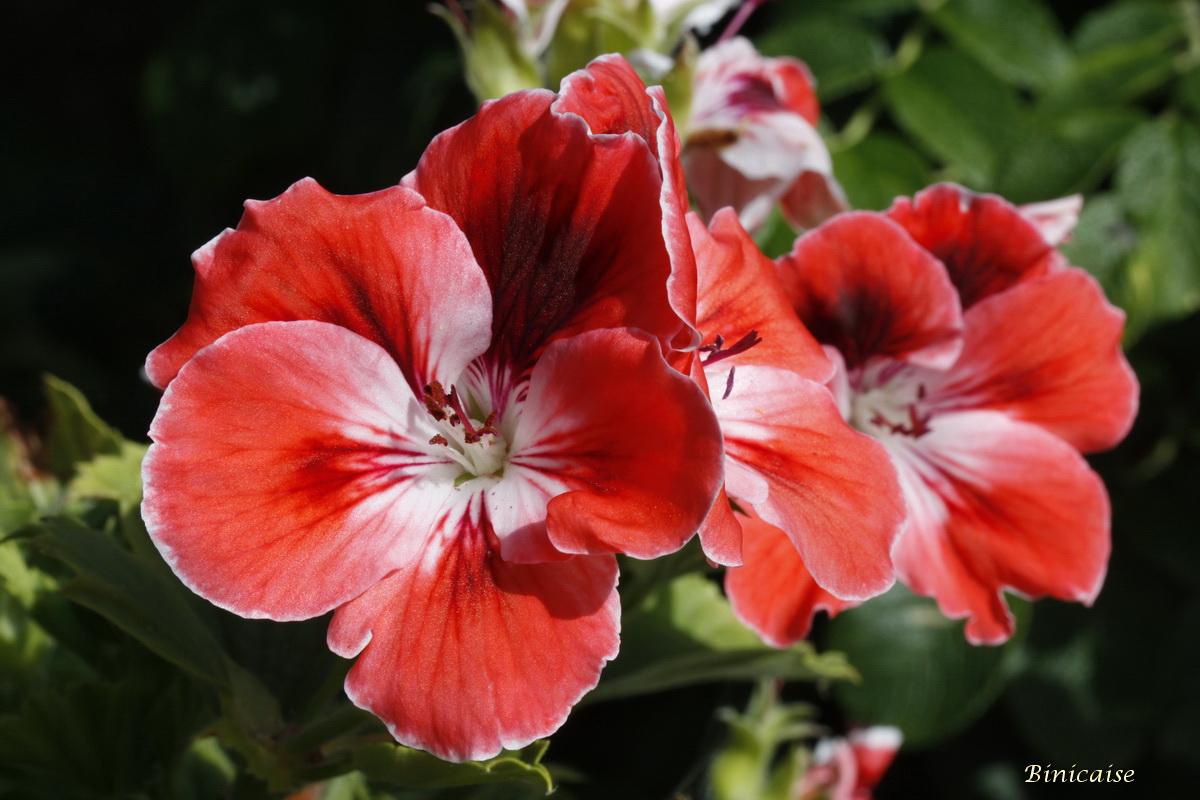 pelargoniums0001.jpg
