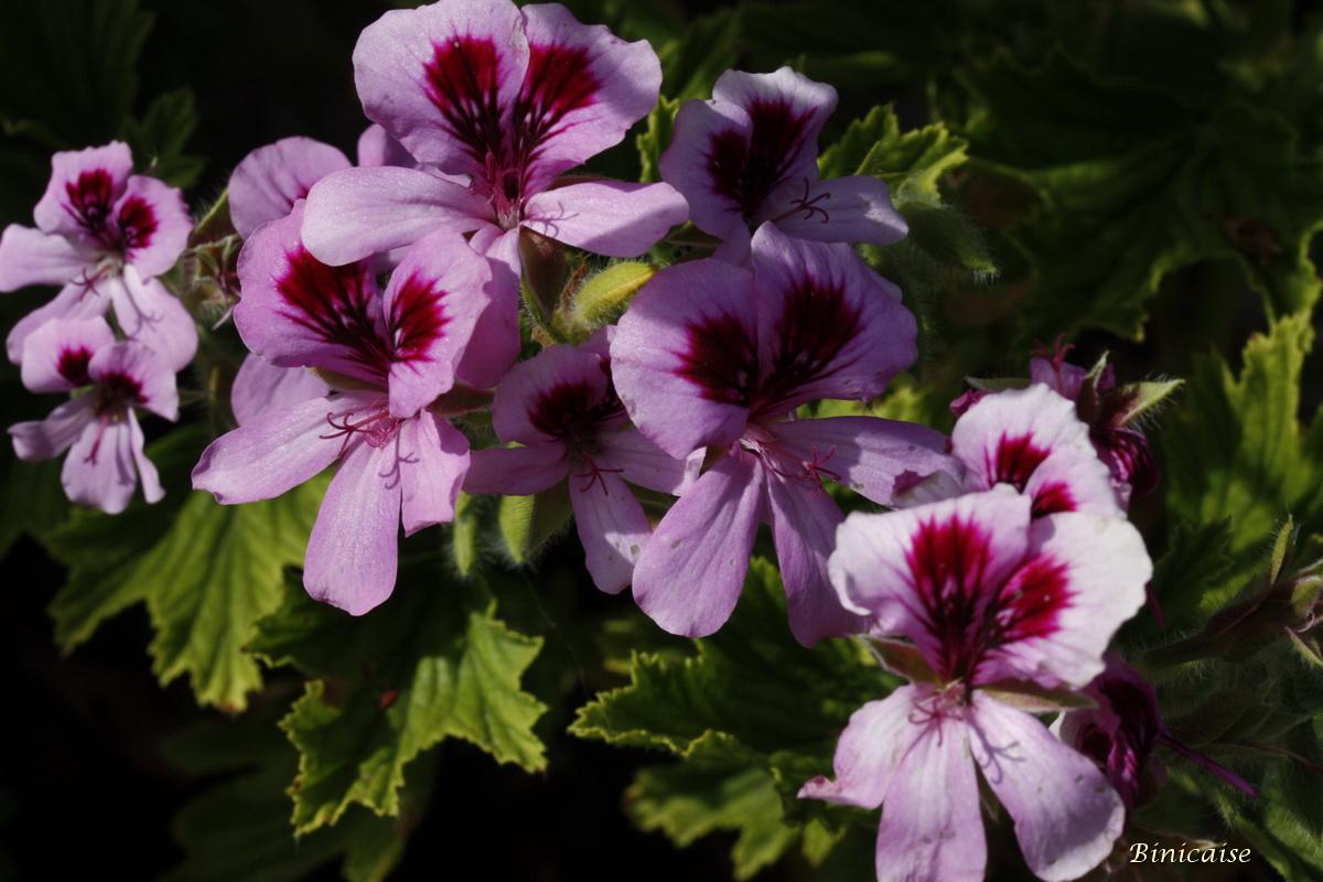 pelargoniums0002.jpg