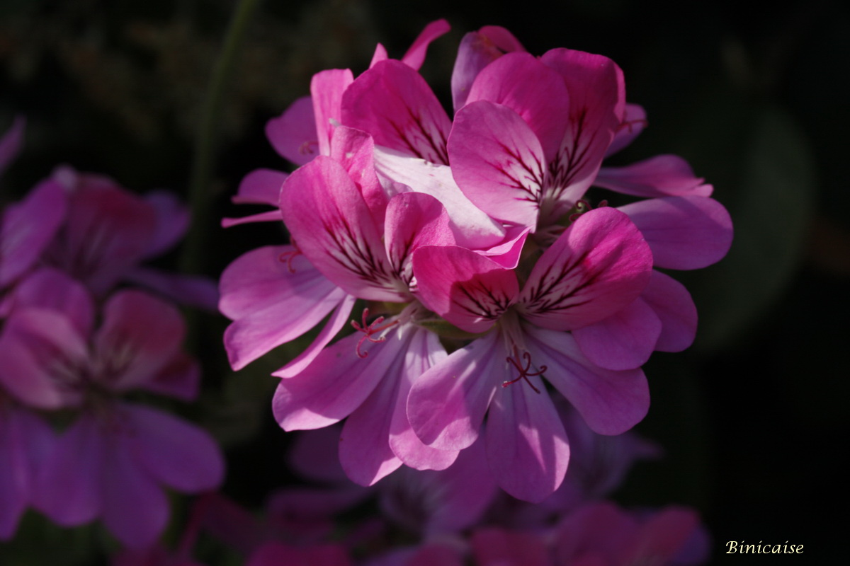 pelargoniums0003.jpg