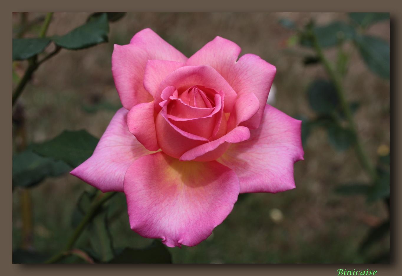 rose201007.jpg