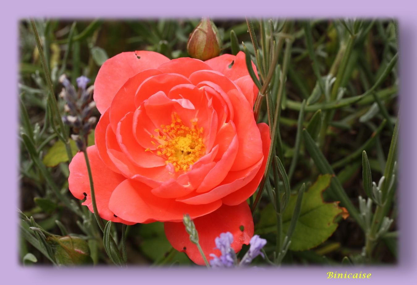 roseorange01.jpg