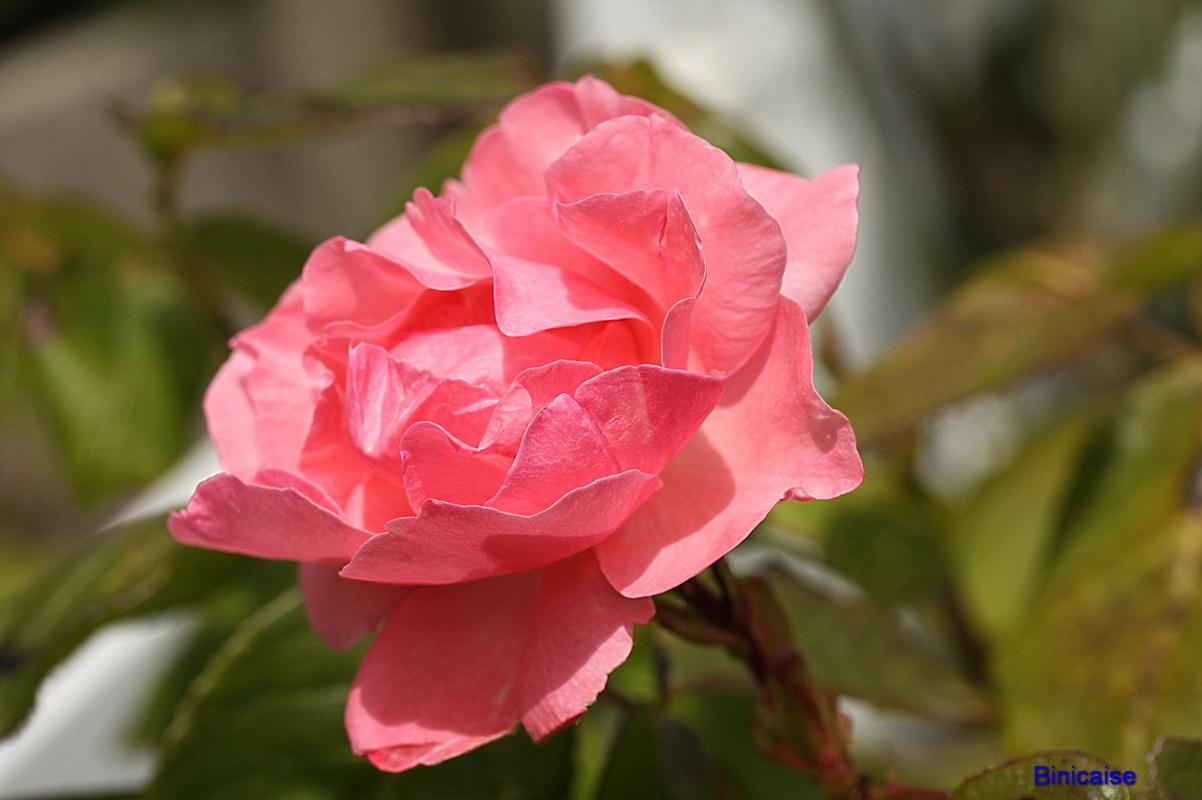 roserose0004.jpg