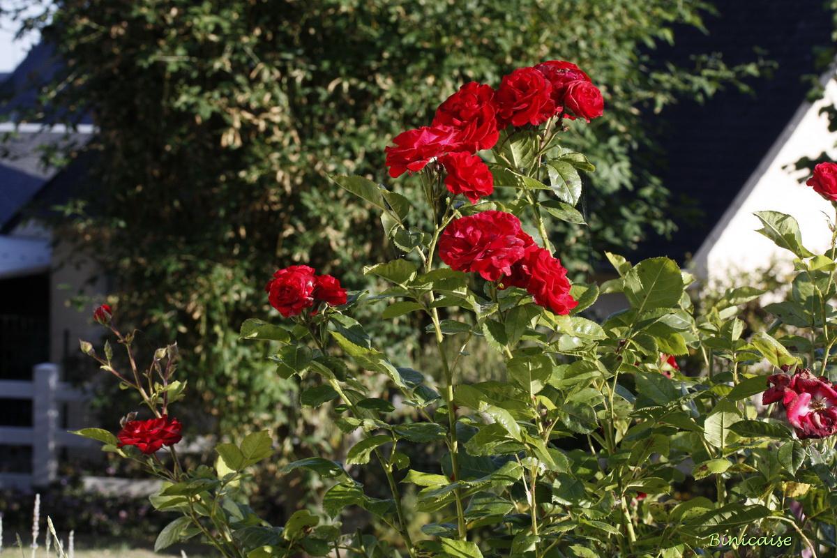 rosesrouges0001.jpg