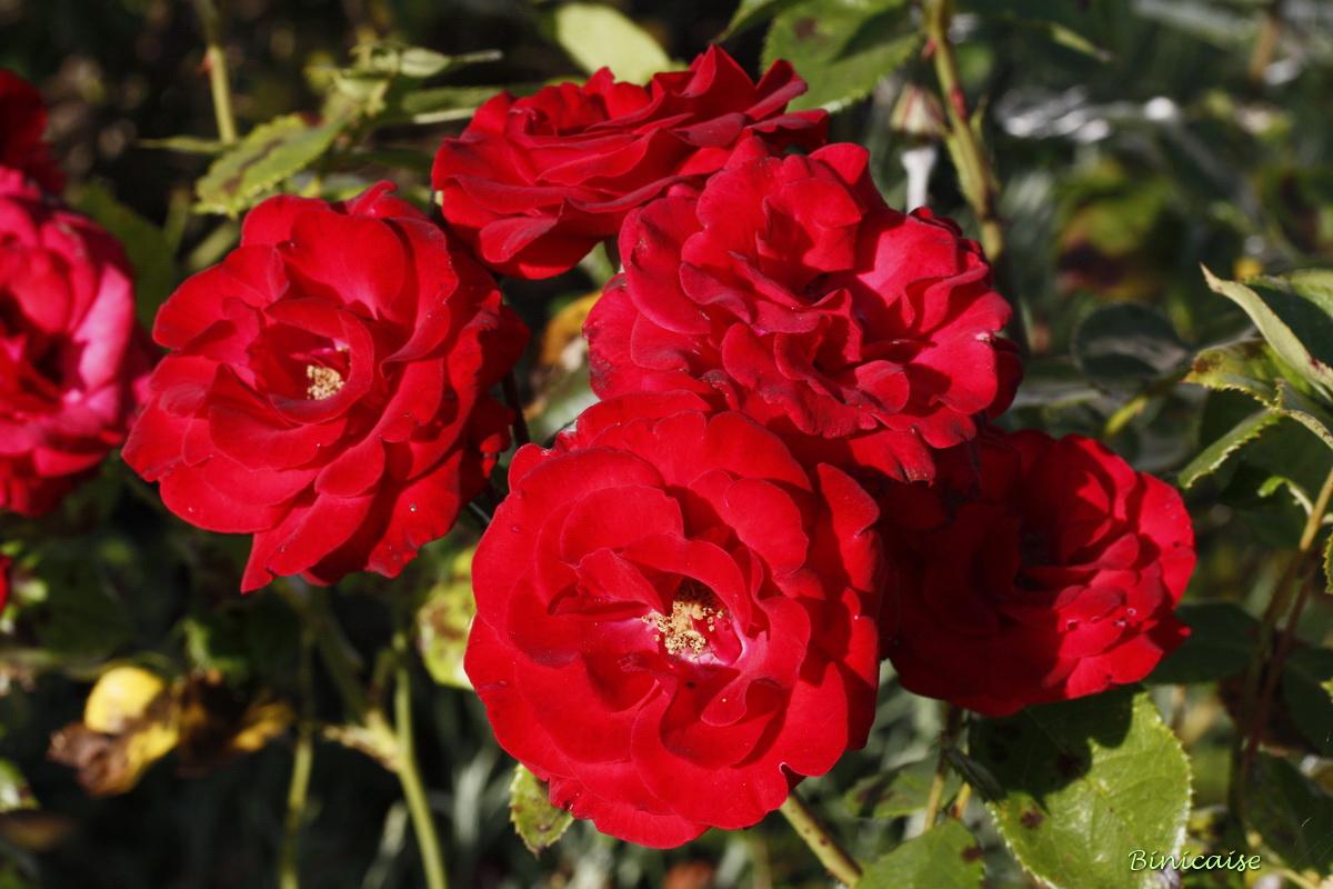 rosesrouges0002.jpg