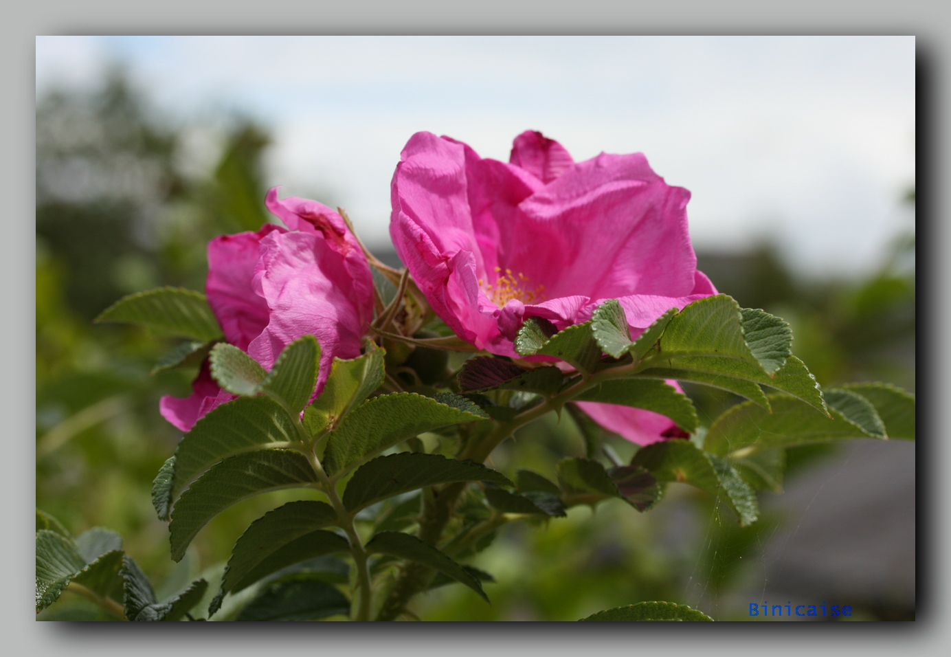 rosiermoussu01.jpg