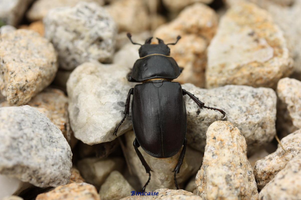 scarabe0002.jpg