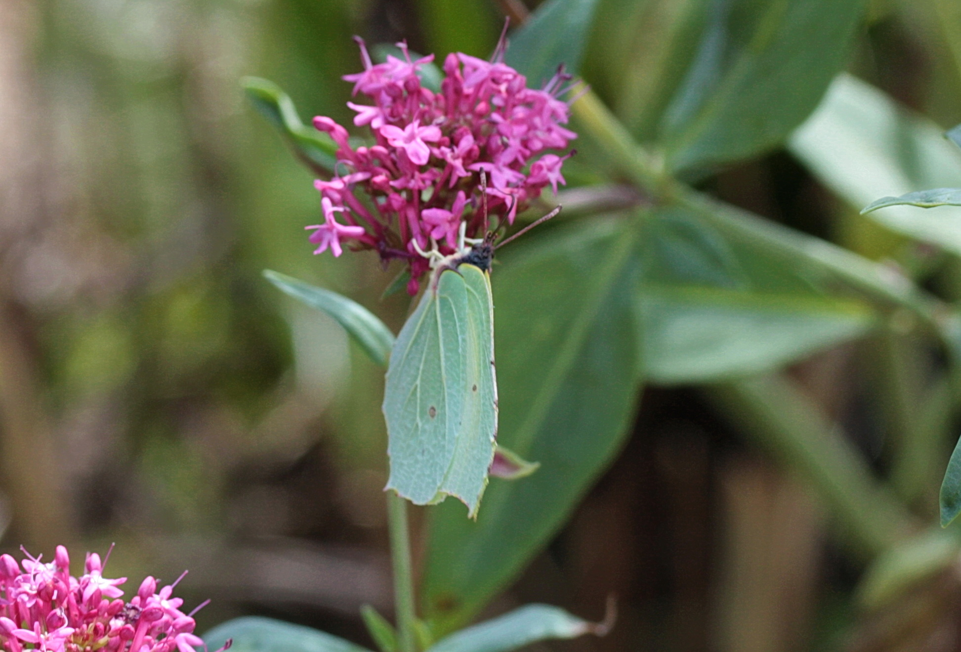 papillon01.jpg