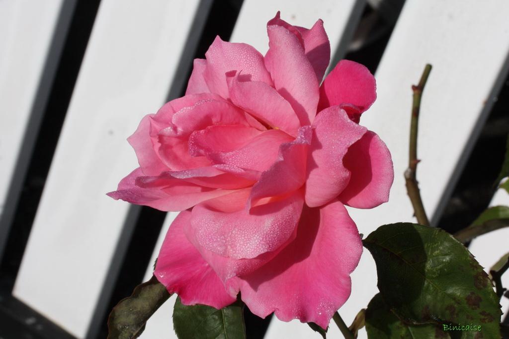 rosesenoctobre0001.jpg