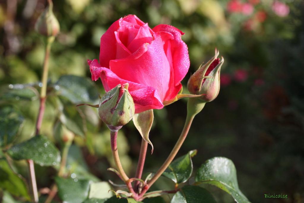 rosesenoctobre0002.jpg