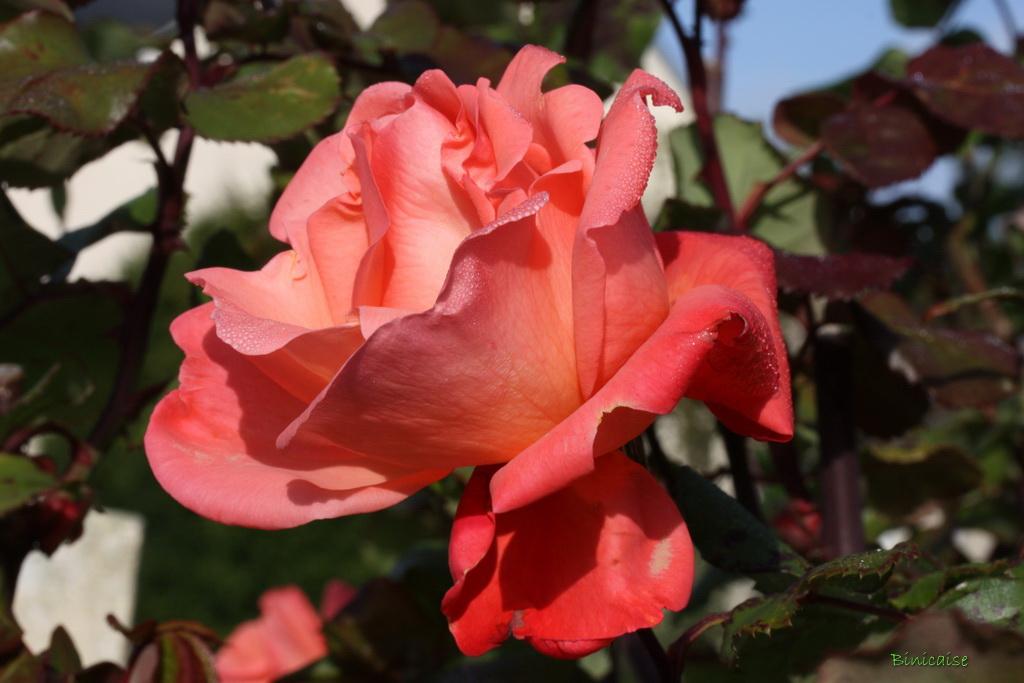 rosesenoctobre0003.jpg