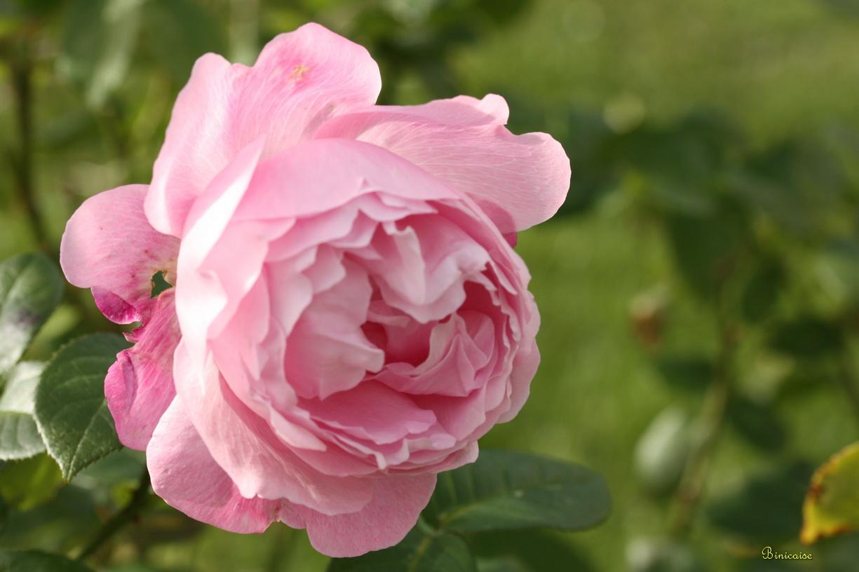rosesdenovembre01.jpg