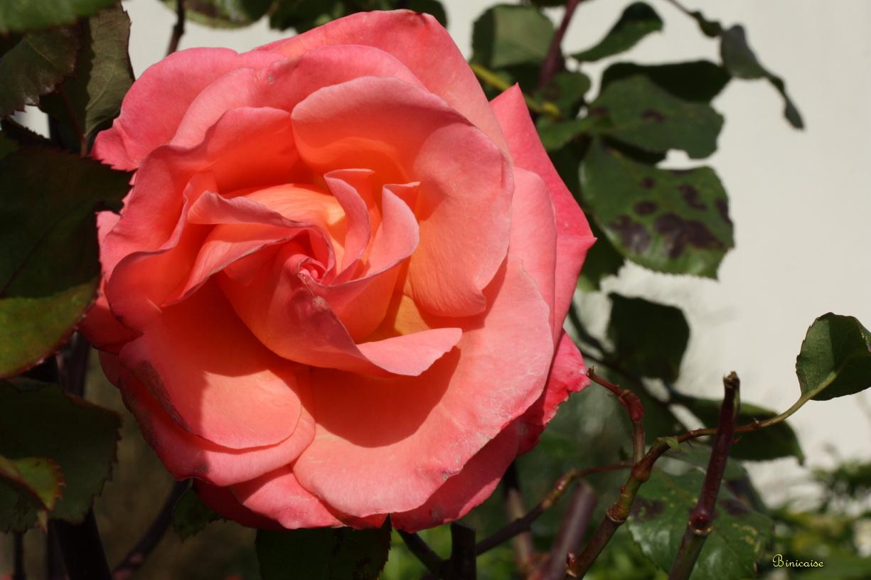 rosesdenovembre02.jpg