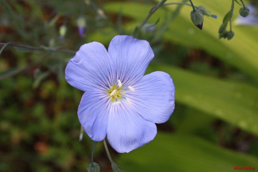 Binicaise » Fleur de lin.