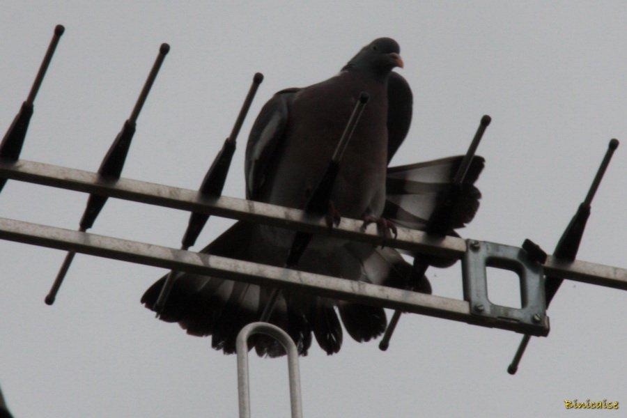 pigeon02.jpg