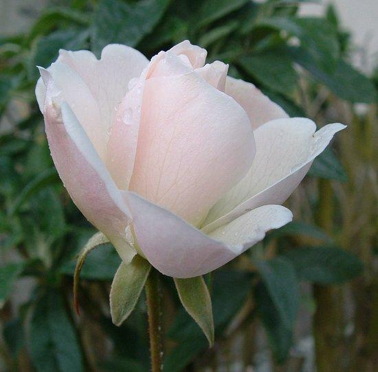 rose55001.jpg