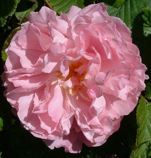 roses200614.jpg