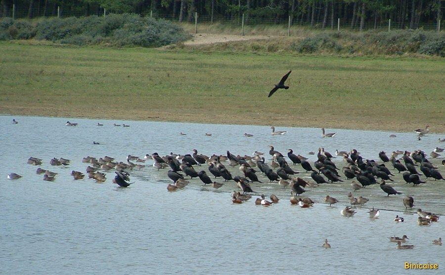 Oiseaux migrateurs. dans Paysages urbains et autres Baie-de-Somme-Oiseaux-01