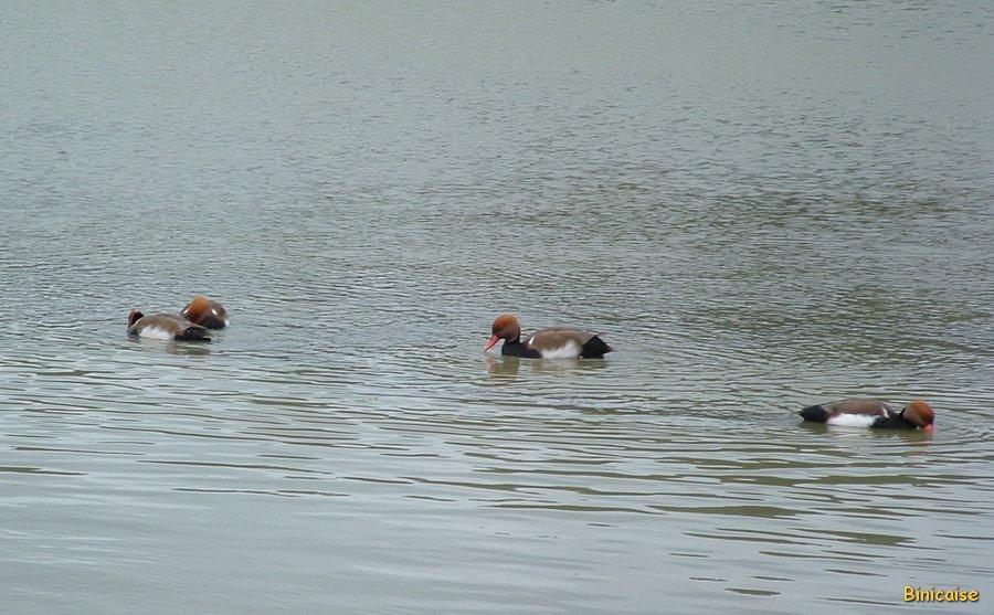Baie-de-Somme-Oiseaux-02 Oiseaux migrateurs dans Photos