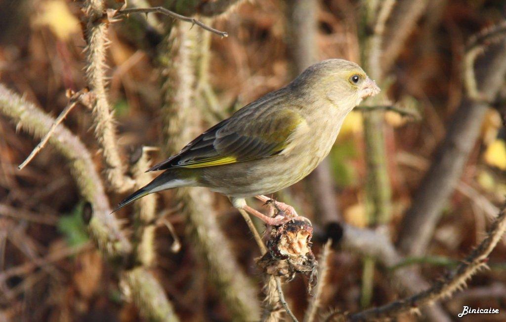 Verdier-dEurope-_0002 Oiseaux des jardins dans Photos