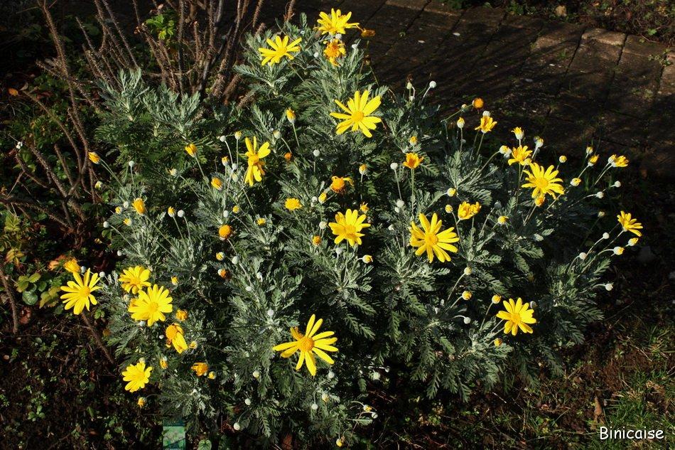 Quelques fleurs en hiver. dans Jardin binicaise IMG_3935b_redimensionner