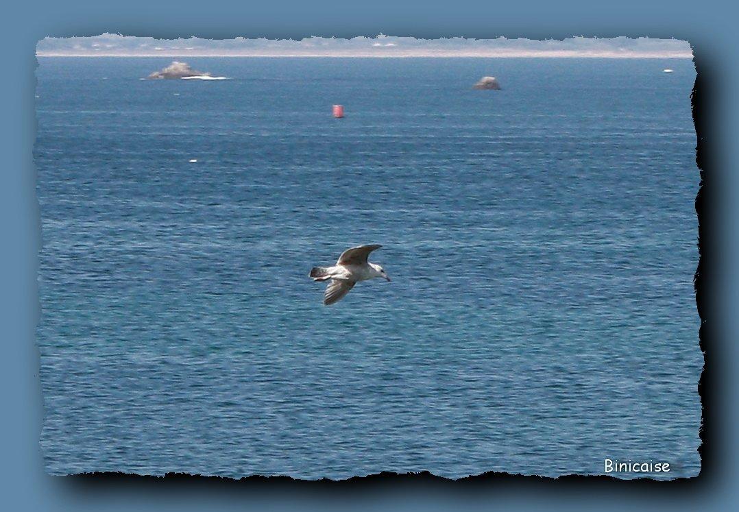 Vol du goéland. dans Animaux Quiberon-mouetteb-