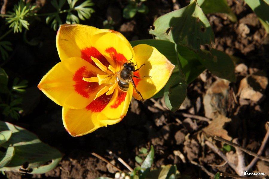 La tulipe et le visiteur ailé.. dans Animaux IMG_4515_redimensionner