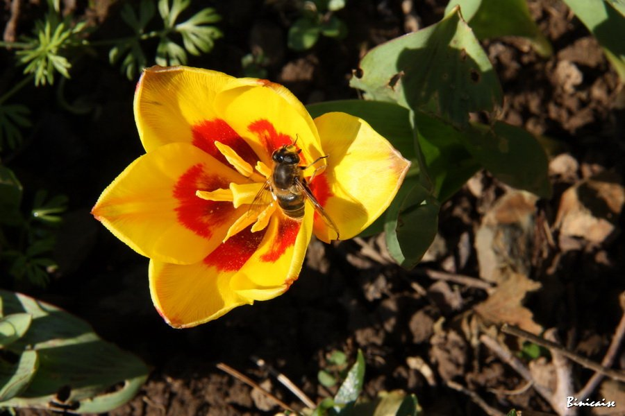IMG_4516_redimensionner tulipes dans Jardin binicaise