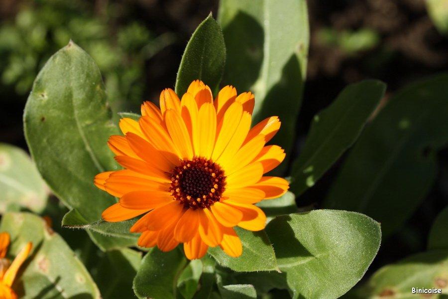 Pas de soucis. dans Fleurs et plantes Pas-de-soucis-01
