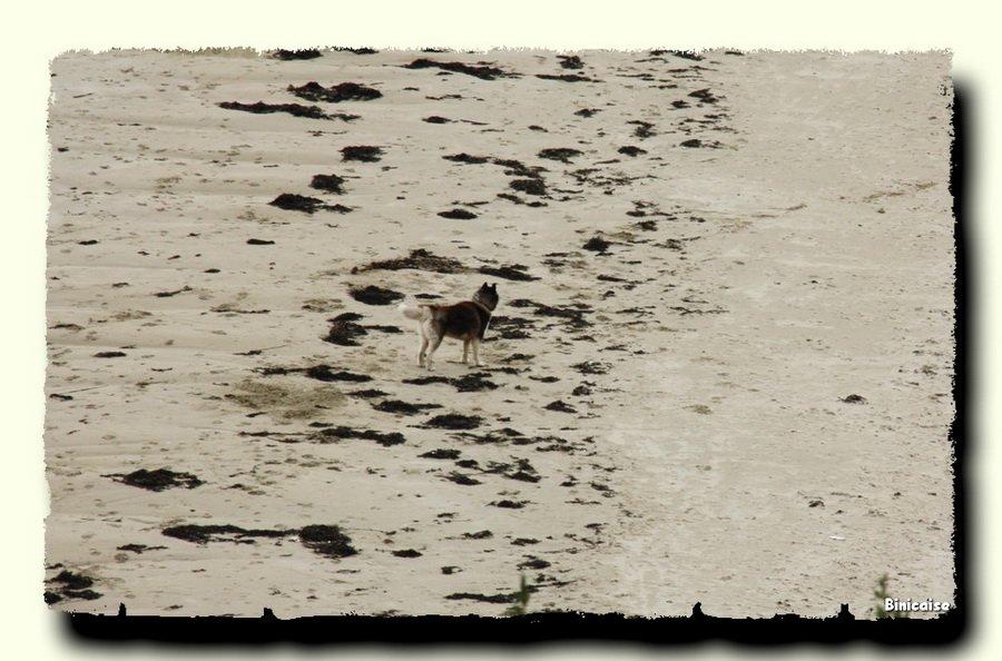 Seul sur la plage . dans Animaux Seul-sur-la-plage._redimensionner