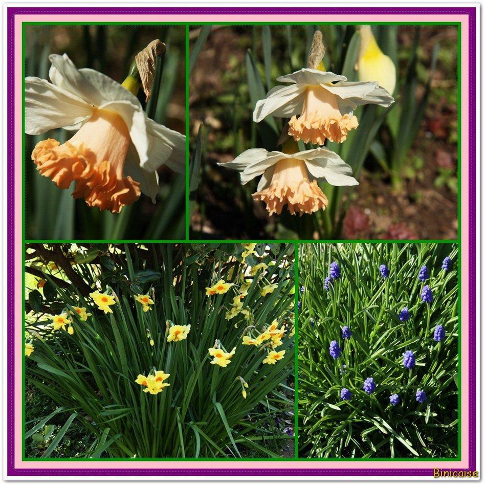 Jonquilles et muscaris. dans Fleurs et plantes Bloc-jonquilles-muscaris