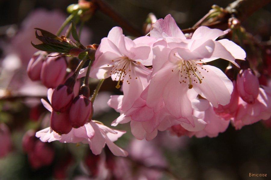 L'amandier dans Bretagne Fleurs-de-lamandier-16