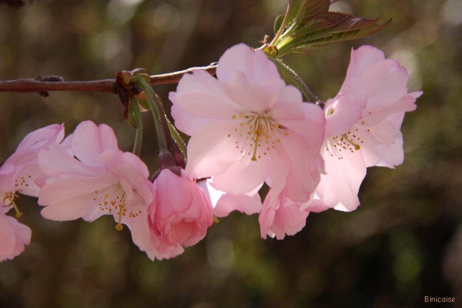 Fleurs-de-lamandier-17 Amandier en fleurs dans Fleurs et plantes