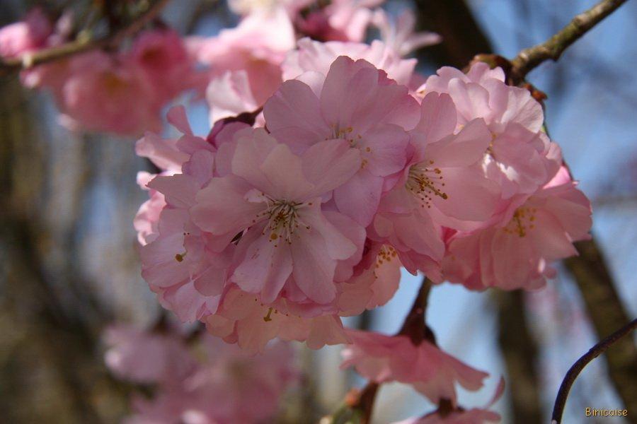 Fleurs-de-lamandier-18 dans Photos
