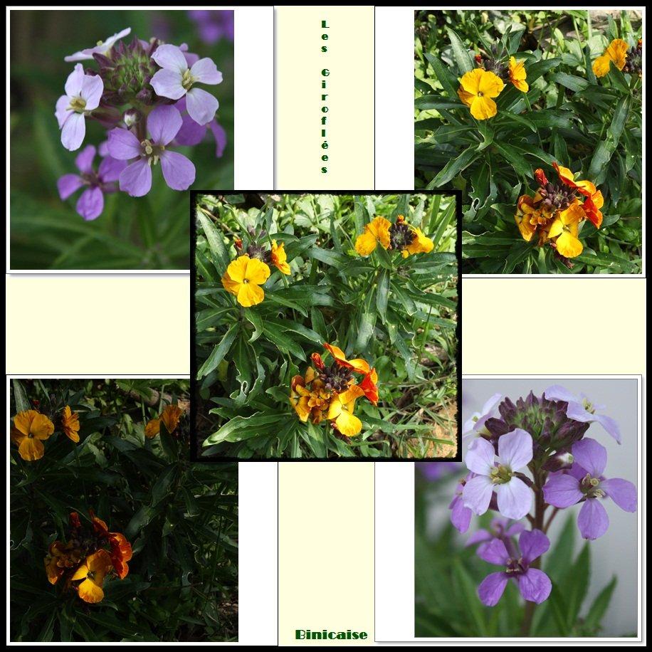 Les giroflées . dans Fleurs et plantes Giroflees
